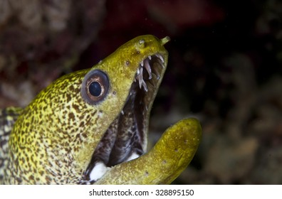 Close up view of the mouth and sharp teeth of a large Green long nosed Moray Eel (Gymnothorax Gymnothorax funebris) tropical fish on a coral reef in the Musandam area of Oman in the Arabian sea
