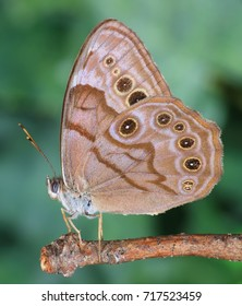 Close- up view of a Northern Pearly- eye butterfly (Enodia anthedon).