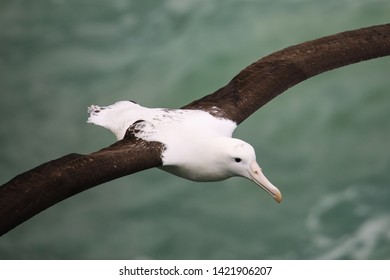 Close view of Northern royal albatross in flight, Taiaroa Head, Otago Peninsula, New Zealand. The albatross colony on Taiaroa Head is the only such colony on an inhabited mainland.