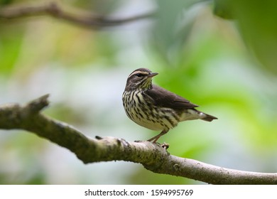 Close up view of a Northern Waterthrush (Parkesia noveboracensis) on a tree branch