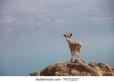 Close up view of Nubian ibex Female, Judean Desert, above the Dead sea, Israel