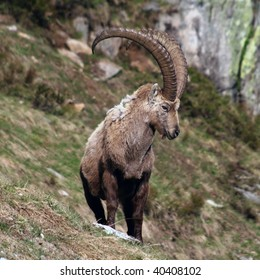 Close view of an old capra ibex standing and looking around
