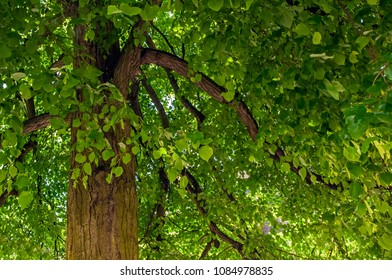 "Close view of an old linden tree ""Tilia europaea"" in bavaria"