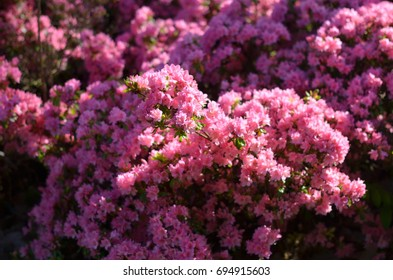 Close up view on blooming azalea bush with purple flowers in public park in Nantes, France