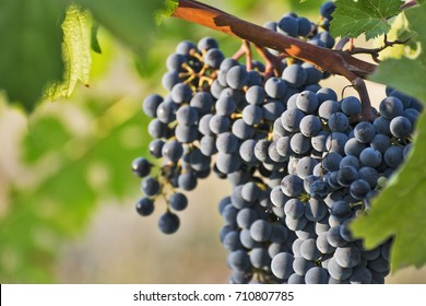 a close up view on a bunch of grapes in a wine yard in a sunny day in italy