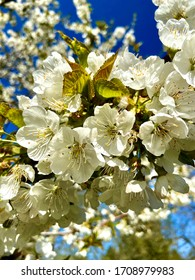 close up view on a cherry blossom