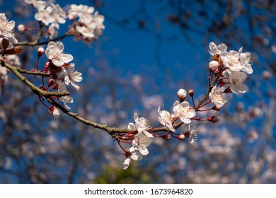 close up view on plum blossom in spring time