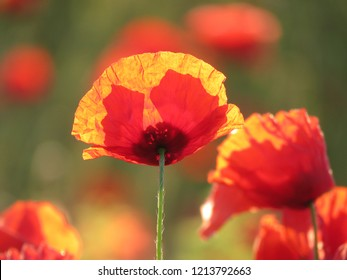 Close view on a singular poppy in full bloom under the morning sun of provence, with in backgroud in soft focus other poppies.