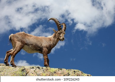 Close view on a young Capra Ibex near the White Lake near Chamonix.