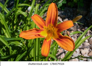Close up view of an orange daylily