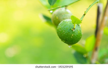 close up view of organic fresh lime fruit on the tree in farm (selective focus)