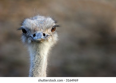 Close up view of an ostrich, face looking straight ahead