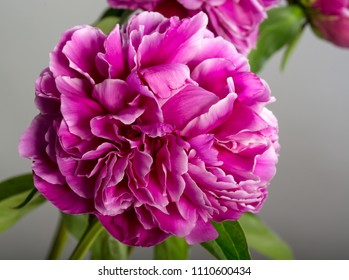 Close up view of peony flower on grey background