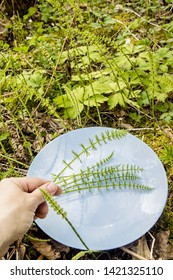 Close up view of person hand picking Equisetum arvense, the field horsetail or common horsetail leaves stems for herbal medicine, outdoors in spring in sunny day.