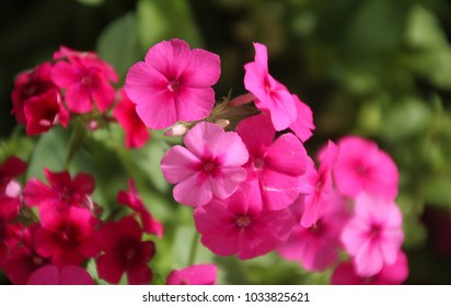A close up view of Phlox flowers, clusters  long flowering, sun-loving plant blooms in bold colors with a pleasant vanilla-clove fragrance.Sport star-shaped flowers, a perennial plant, Copy space.