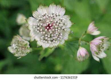 Close view of a pink Astrantia flower with various shades of light and dark pink and green in a flower bed with a background of leaves of the same plant.