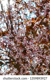 close up view of pink cherry tree blossom