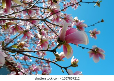 close up view of pink magnolia flowers blossom on blue sky background