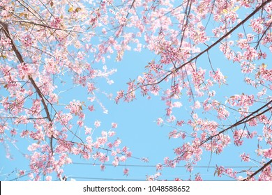close up view of pink sakura with blue sky background with sakura brunch and leaves