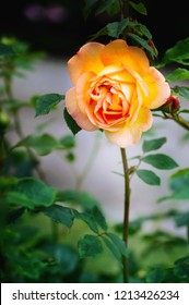 Close view of pink yellow roses blossoms on a dark background. Lady of Shalott. D.Austin, Englan, 1992.