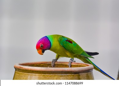 Close up view of The plum-headed parakeet (Psittacula cyanocephala) is a parrot in the family Psittacidae. It is endemic to the Indian Subcontinent.