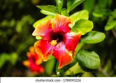 Vue en gros plan d'une jolie fleur d'hibiscus.