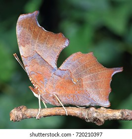 Close- up view of a Question Mark butterfly (Polygonia interrogationis).