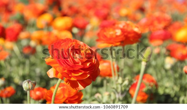 Close up view of Ranunculus flowers in a field aka buttercup flower, blooms in vibrant warm colors of red orange & yellow. Spring time Isael
