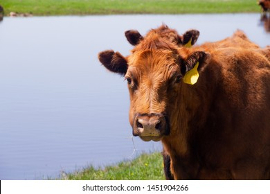 Close up view of a red Angus cow's head looking at the camera with a water background.