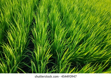 Close view of a rice field.