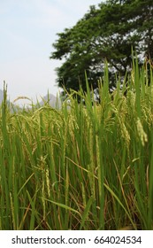 Close up view of rice filed in harvest period with blurred big tree background.