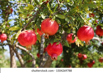 Close up view of  ripe beautiful healthy pomegranate fruits on a tree branch in pomegranate orchard ready for harvest. Fall season.