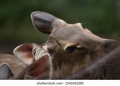 Close up view of a Sambar Deer (Cervus unicolor) lick its body.