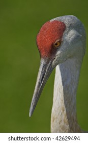 Close up view of the sandhill cranes eyes and its neck.
