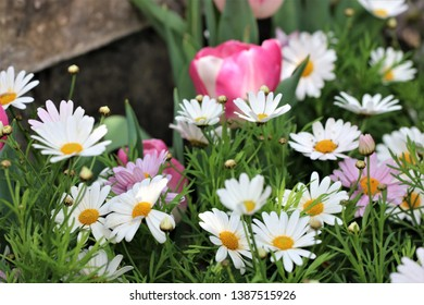 A close up view of shasta daisies and pink and white tulips.