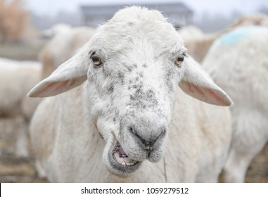 A close view of a sheep's face as it chews its food