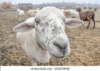 A close view of a sheep's face on a small farm