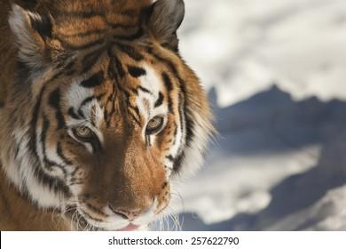 Close up view at the Siberian tiger