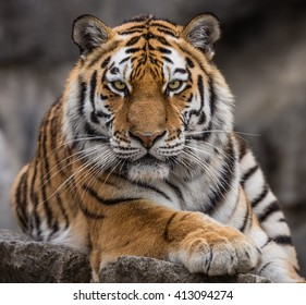 Close up view of a Siberian tiger (Panthera tigris altaica)