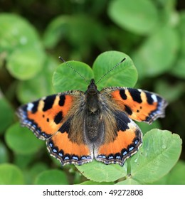 Close view of a small tortoiseshell butterfly