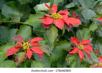 Close up view of some beautiful red poinsettia flowers (Euphorbia Pulcherrima)