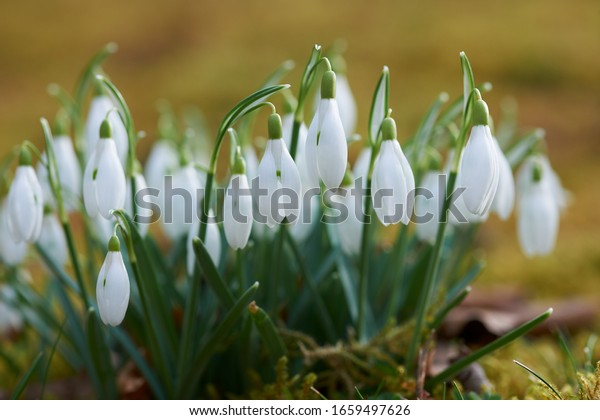 Close view of some snowdrops Galanthus Nivalis in Europe