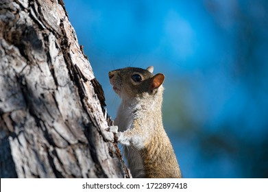 Close up view of a squirrel going up a tree
