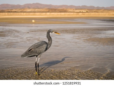 The close up view of standing black heron bird with long legs in the Red Sea, Marsa Alam, Egypt