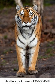 Close up view of a standing Siberian tiger (Panthera tigris altaica)