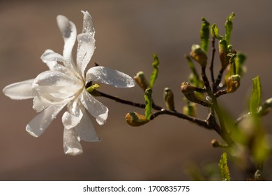 close up view of a star magnolia with dew drops on it