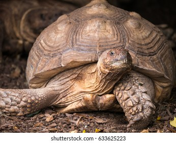 Close up view of a Sulcata Tortoise or African Spurred Tortoise.