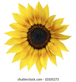 Close view of a sunflower isolated on a white background
