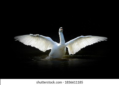 Close up view swan. Wild animal isolated on a black background