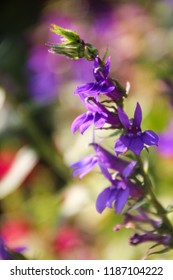 Lobelia Speciosa Fan Blue Images Stock Photos Vectors Shutterstock